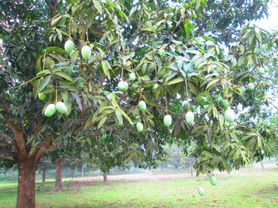 "Malda also know as ""Mango City of India"""