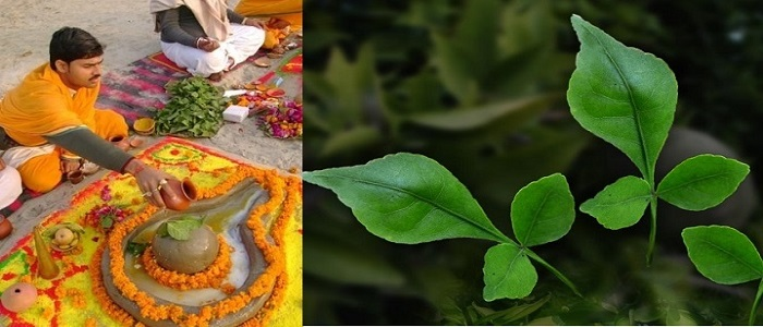 Left: A priest praying Lord Shiva with Bilva leaves. Right: Tri-foliate Bilva Leaves
