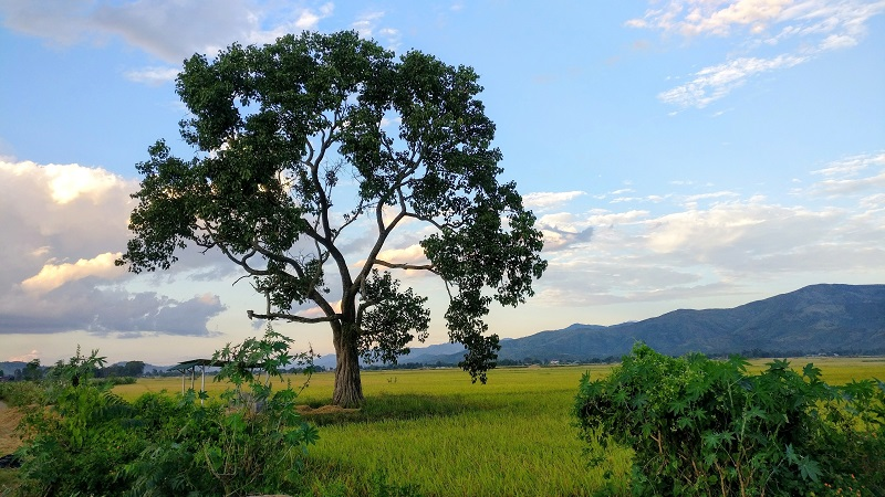 A View of Rice Fileds On Imphal Moreh Road