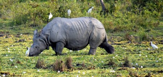 A Rhino At Kaziranga National Park